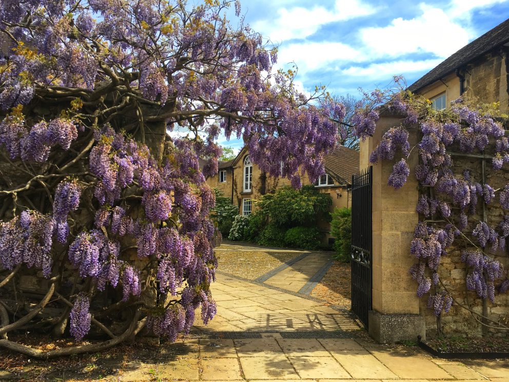 Green Templeton College wisteria in gardens