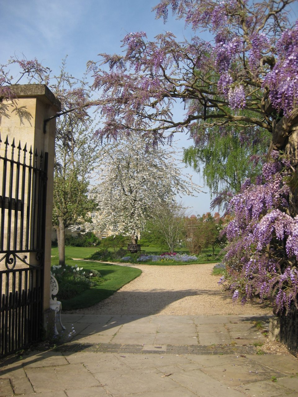 Wisteria as entering Observatory gardens
